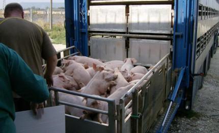 Schweinetransport